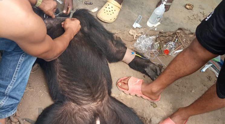 """""""Tarzan"""", le chimpanzé a été finalement libéré après 25 ans de captivité à Bunia"""