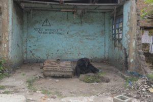 Tarzan le chimpanzé