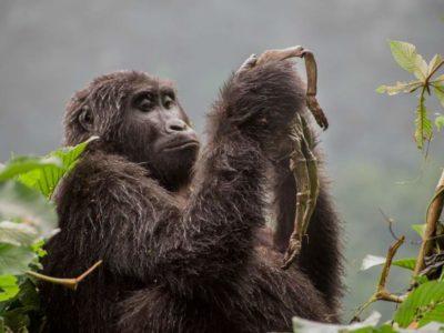 RDC: à Lubumbashi, un centre pour sauver les primates du braconnage