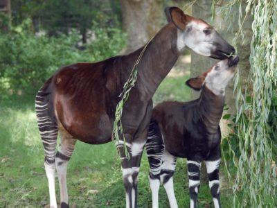 4000 Okapis suivis dans la réserve d'Epulu