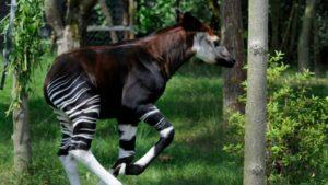 Okapis suivis