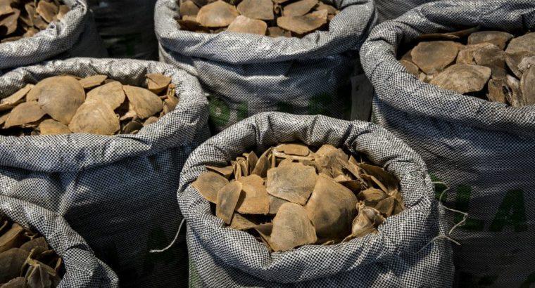 l'ICCN a saisi la Cour de Cassation pour obtenir 18 sacs d'écailles de pangolin et 180 Kg d'écorces de l'arbres Baya rapatriés de Brazzaville le 1er juin